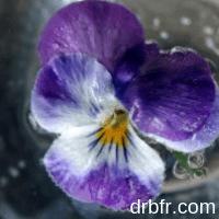 Water voilet